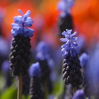 Muscari Latifolium, Broad-leaved Grape Hyacinth, Blue Muscari, Mid spring bulbs, Late spring bulbs