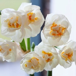 Narcissus 'Bridal Crown', Daffodil 'Bridal Crown', fragrant daffodils, fragrant narcissi