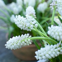 Muscari Aucheri 'White Magic', Traditional white garden, white spring flowers, grape hyacinths, Muscari botryoides, Anemone blanda white splendour, narcissus Thalia, narcissus bridal Crown, Snowdrops, Galanthus Nivalis, Leucojum Gravetye Giant