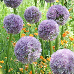 allium, Ornamtental onion, Ornamental garlic