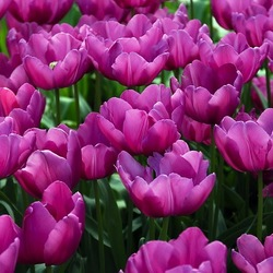 Tulip Purple Prince,Tulipa Purple Prince,Tulipe Purple Prince,Single Early Tulips, Purple Tulips, Tulipes Simples Hatives