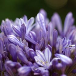 Agapanthus, lily of the Nile, African lily