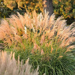 Miscanthus Sinensis 'Grosse Fontane', Maiden Grass 'Grosse Fontane', Eulalia 'Grosse Fontane', Chinese Silver Grass 'Grosse Fontane', Japanese Silver Grass 'Grosse Fontane', Low maintenance grasses, Low maintenance plants