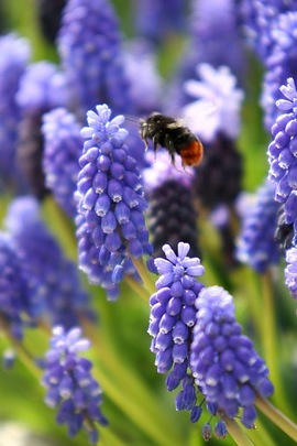 Muscari, Bulbs that naturalize, perennial bulbs
