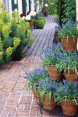 Muscari Armeniacum, Grape Hyacinth, Blue Spring Bulb, Early Spring Bulb, Mid Spring Bulb