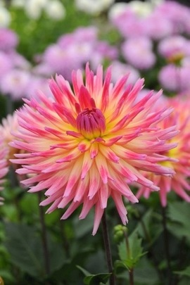 Dahlia Karma Sangria, Semi-Cactus Dahlias, Dahlias for cut flowers, Cutting garden, Best dahlias for containers, Best dahlias for low borders, Pink Dahlias