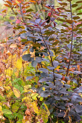 Cotinus Coggygria, Cotinus, Smokebush, Smoketree, Eurasian Smokebush, Smoke Bush, Smoke Tree, Deciduous Shrubs, Foliage, Fall color